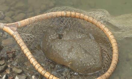 Појава речне медузе у језеру Тиквара